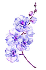 Panel Szklany Storczyki Blue moth orchid (Phalaenopsis) flower on a twig. Isolated on white background. Watercolor painting.