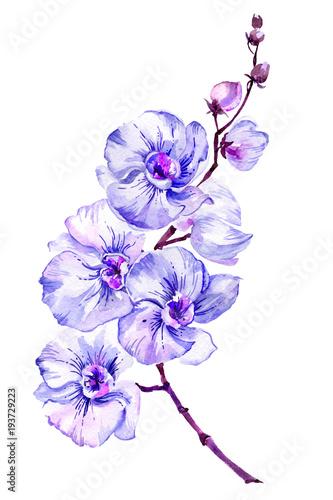 blekitny-cma-orchidei-kwiat-na-galazce-phalaenopsis-pojedynczo-na-bialym-tle