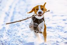 Beagle Dog Runs On Snow  With ...