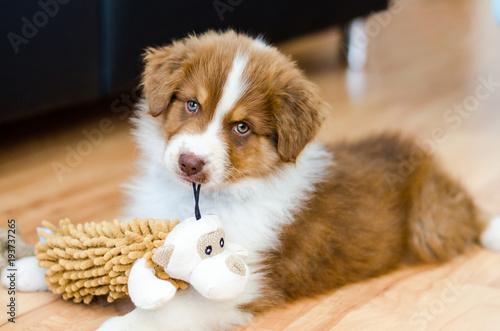 Fototapeta Cute puppy of australian shepherd holding a toy