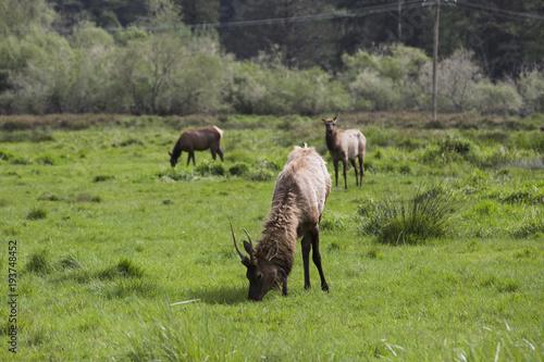 Foto auf Gartenposter Reisfelder Elk grazing in a green field