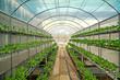 Choy in Greenhouse Hydroponics farm