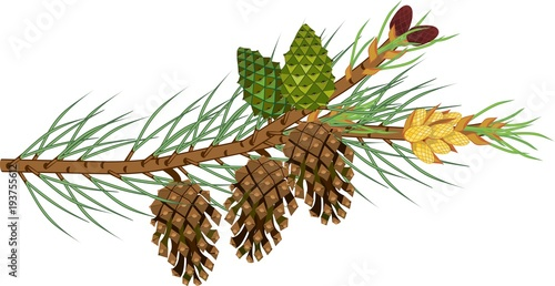 Branch of pine with green needles, male and female cones of different ages on wh Tableau sur Toile
