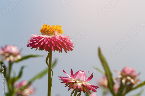 Fotografia  Everlasting or straw flower ( helichrysum bracteatum willd )  blooming in the ga