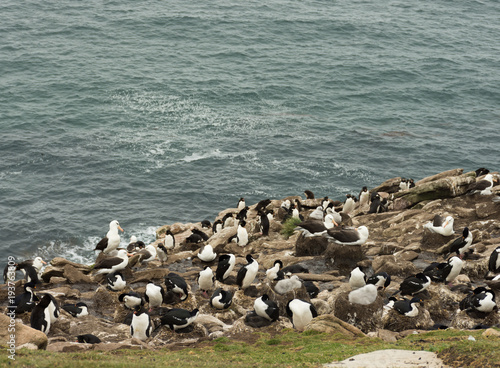 Vászonkép Cormorants, Albatross and Penguins on a Cliff Overlooking the Atlantic Ocean in the Falkland Islands