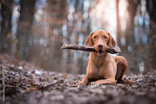 Portrait of hungarian vizsla pointer dog in evening sunset