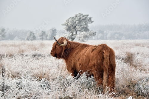 Obraz na plátně Scottish highlander in a natural winter landscape.