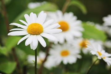 Daisy field in summer