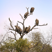 Vultures In A Dead Tree.