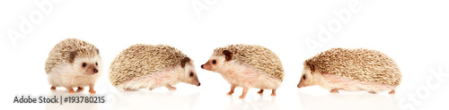 Fotografia Nice pets. Brown hedgehogs