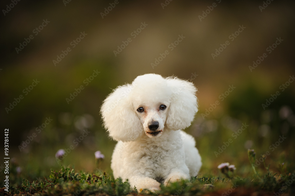 67ca5d1eeeff Photo & Art Print Toy Poodle outdoor portrait lying down in nature |  EuroPosters
