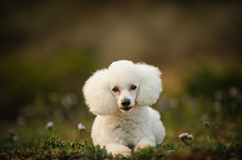 Toy Poodle Outdoor Portrait Lying Down In Nature