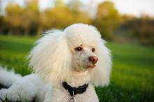 White Miniature Poodle Dog Lyi...