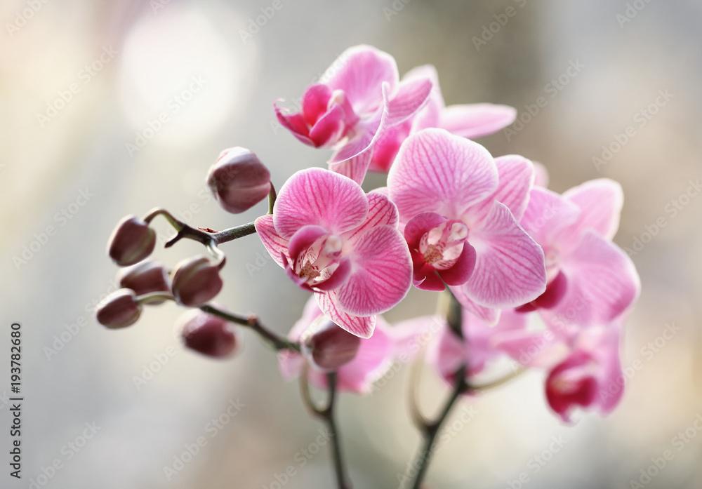 Fototapety, obrazy: Storczyki rózowe