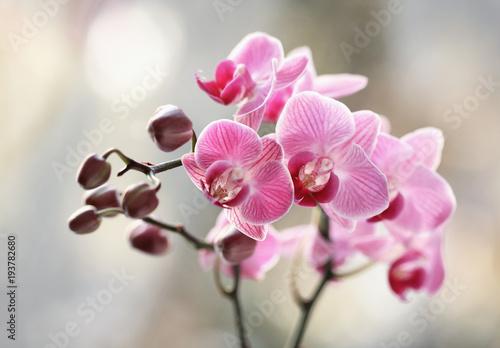 Obraz Storczyki rózowe - fototapety do salonu