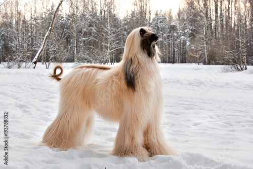 Dog breed dog Afghan Hound standing on the snow in the park Wallpaper Mural