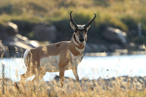 Foto auf AluDibond Antilope Pronghorn walking in grass, Wyoming, Yellowstone National Park