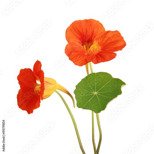 Fleurs de capucine Canvas-taulu
