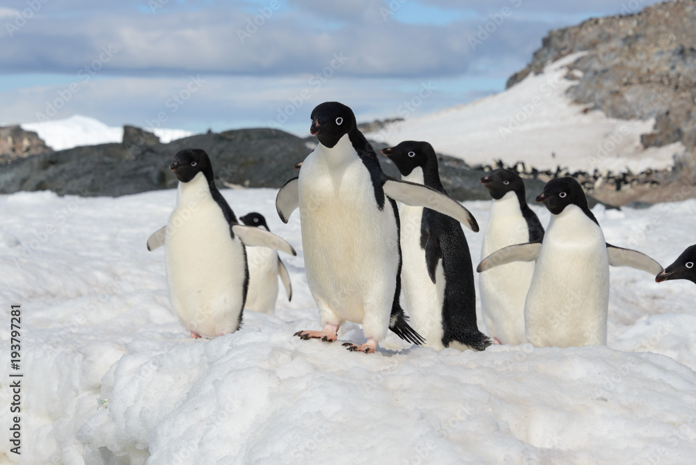 Adelie penguins on snow