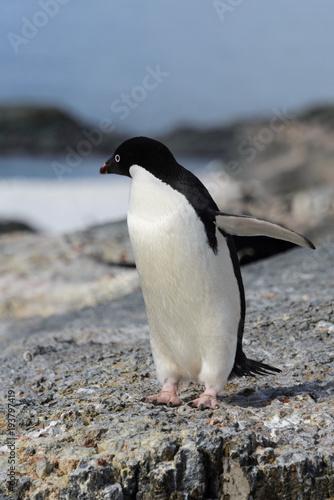Adelie penguin on rock