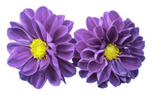 Purple Flowers Dahlias On Whit...