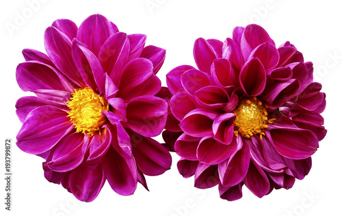 Leinwand Poster Pink flowers dahlias on white isolated background with clipping path