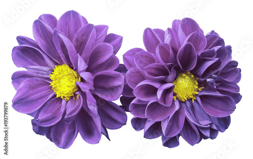 Poster de jardin Dahlia Purple flowers dahlias on white isolated background with clipping path. No shadows. Closeup. Nature.
