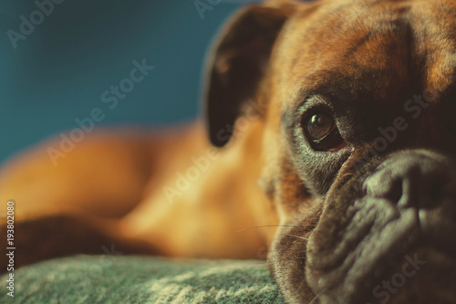 Boxer laying on a blanket Wallpaper Mural