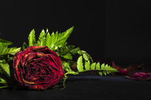 Red Rose With Green Leaves On Black Background Withering
