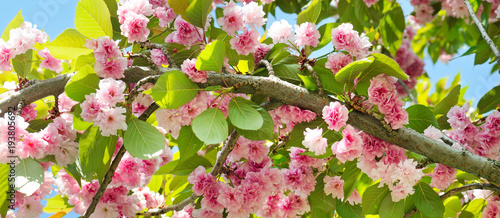 Sakura flower on nature background. Wide photo