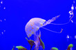 canvas print picture - Jellyfish
