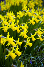 Yellow Miniature Blooming Daff...