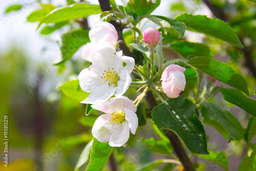 Apple blooms Canvas Print