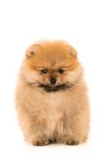 Cute Little Young Pomeranian C...