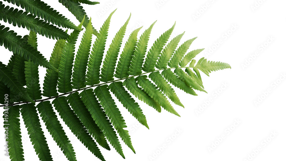 Fototapeta Green leaves fern tropical rainforest foliage plant isolated on white background, clipping path included.