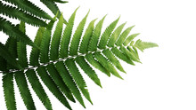Green Leaves Fern Tropical Rai...
