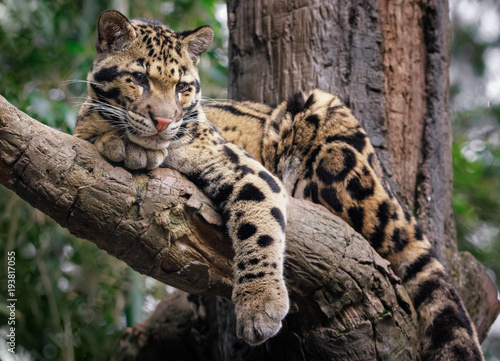 In de dag Luipaard clouded leopard in tree