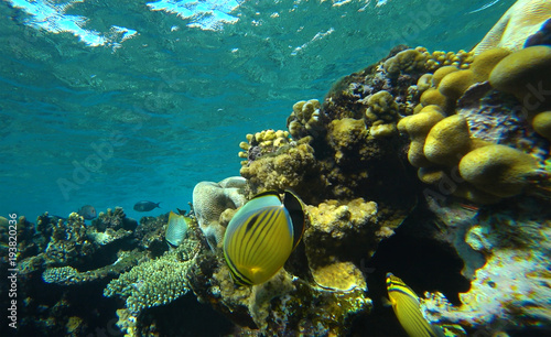 Fotobehang Onder water coral reef and butterfly fish