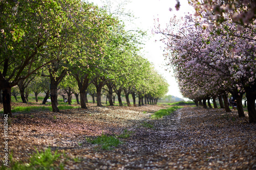 Obraz na plátně Spring garden of the blossoming almonds. Latrun, Israel