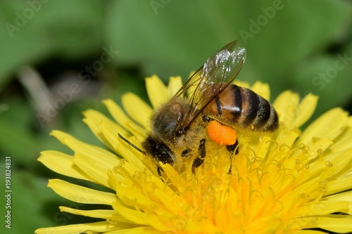 Fotografie, Tablou  Bee pollinating a yellow dandelion flower during the warm Springtime weather