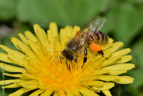Fotografie, Obraz  A honey bee collecting pollen from a yellow dandelion flower during Springtime