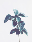 Tropical cool toned plant with leaves isolated on light background. Copy space