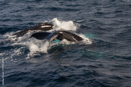Flukes of Whales  Above Water While Diving #193838838