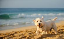 West Highland White Terrier Do...