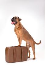Cute Italian Mastiff On Travel Suitcase. Portrait Of Beautiful Brown Cane Corso Italiano Dog With Luggage Isolated On White Background, Studio Shot.
