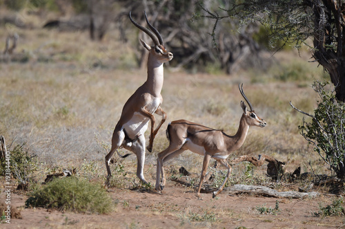 Foto op Canvas Antilope Antilopen in Afrika