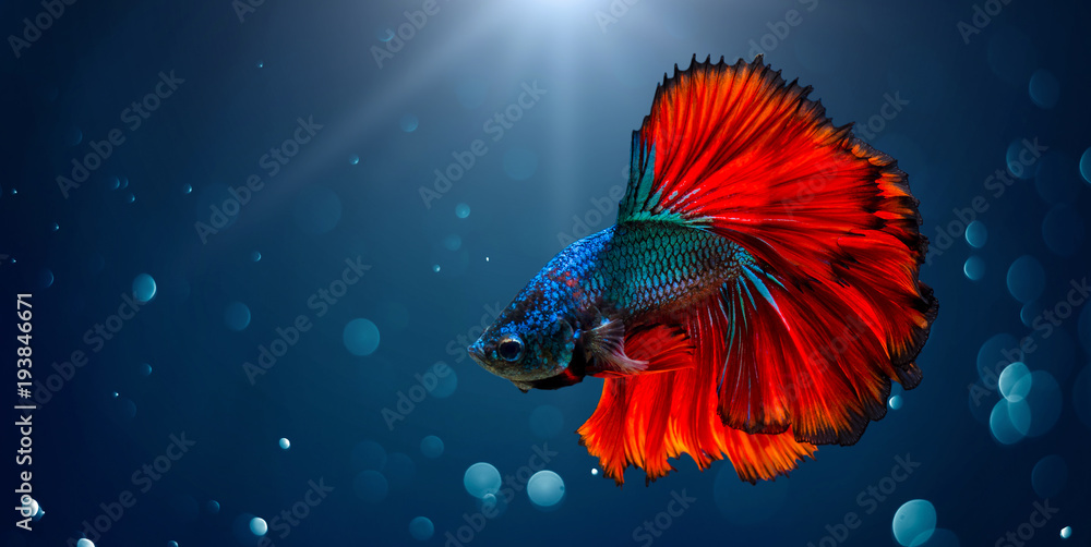 Fototapeta Fighting fish Red blue Light background with bokeh