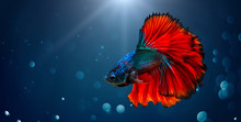 Fighting Fish Red Blue Light Background With Bokeh