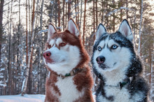 Two Beautiful Husky. Beautiful...