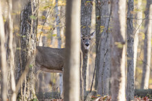 Whitetail Doe In Autumn Forest